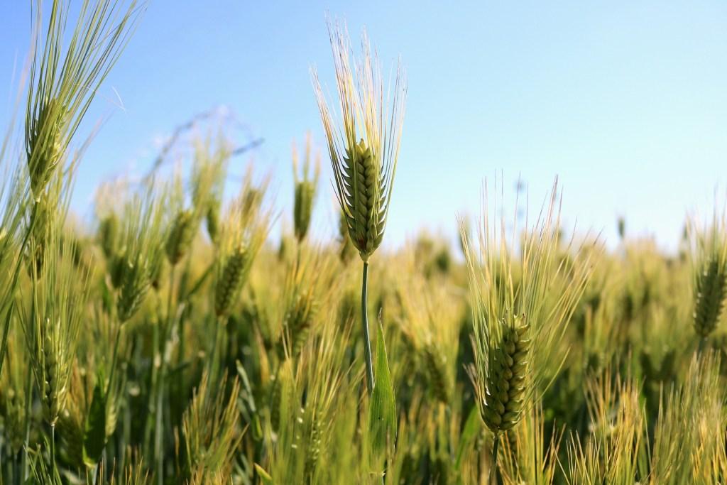 wheat or gluten sensitivity