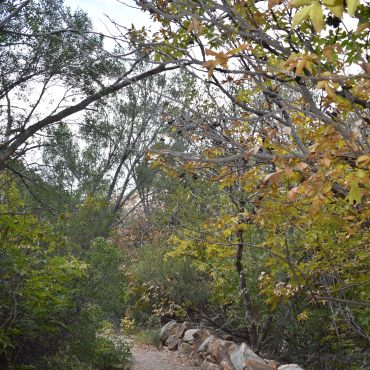 Yellow fall leaves on the Window Trail at Big Bend National Park