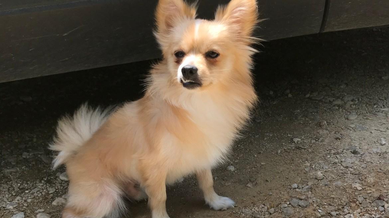 Image of blonde Pomeranian dog, sitting next to car in shade.