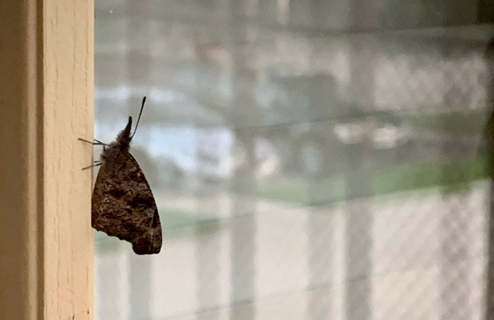 Photo of snout butterfly on the window