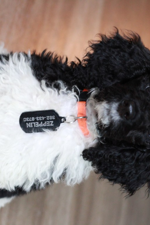 A black and white poodle sitting up straight.
