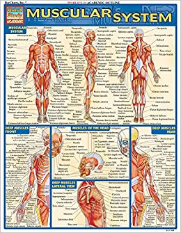 Muscular System (Quick Study Academic) BarCharts, Inc. 8580001066738