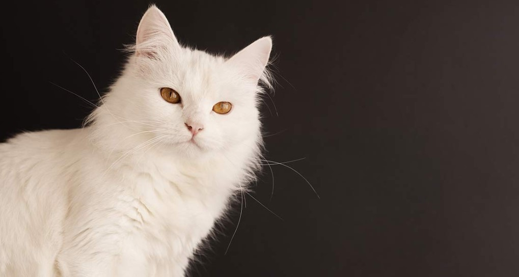 Unduh 68+  Gambar Kucing Jenis Anggora Terbaik Gratis