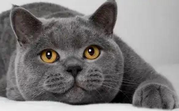 Harga Kucing British Shorthair Terbaru 2019
