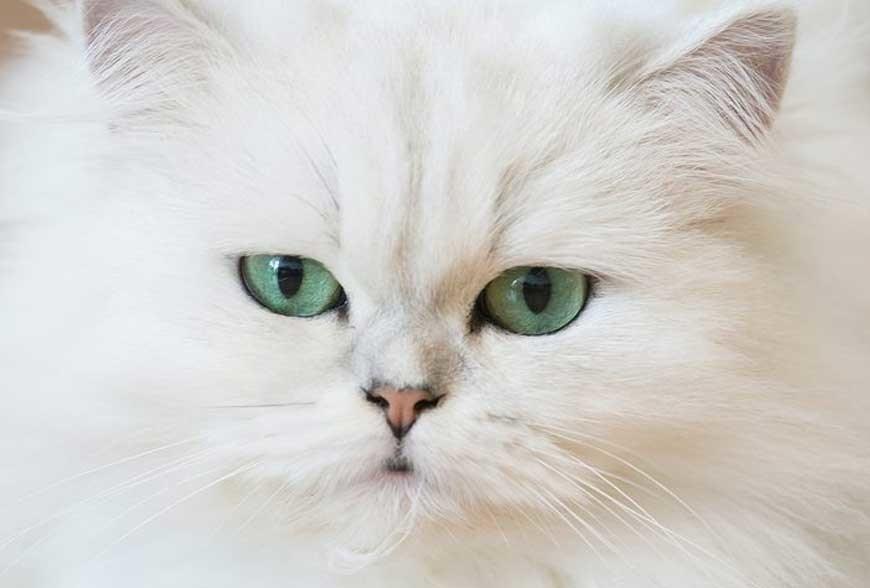 10 Tips Cara Merawat Kucing Persia Dengan Mudah