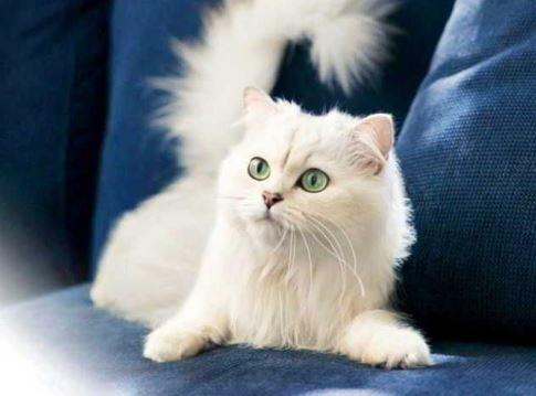 Harga Kucing Anggora Terbaru 2020