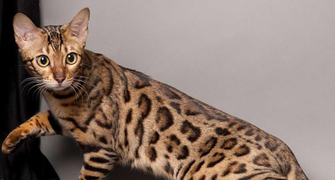 Harga Kucing Hutan Terbaru 2020 Kucing Co Id