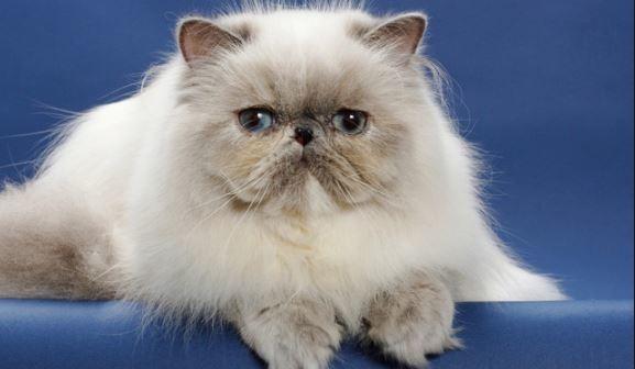 Harga Kucing Persia Terbaru 2020