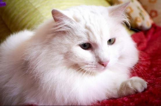 kepala-kucing-anggora 5 Tips Membedakan Kucing Anggora Asli Atau Palsu