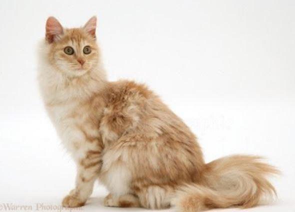 10 Foto Kucing Anggora Tercantik Di Dunia