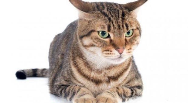 Cara Melatih Kucing Agar Mengerti Bahasa Manusia