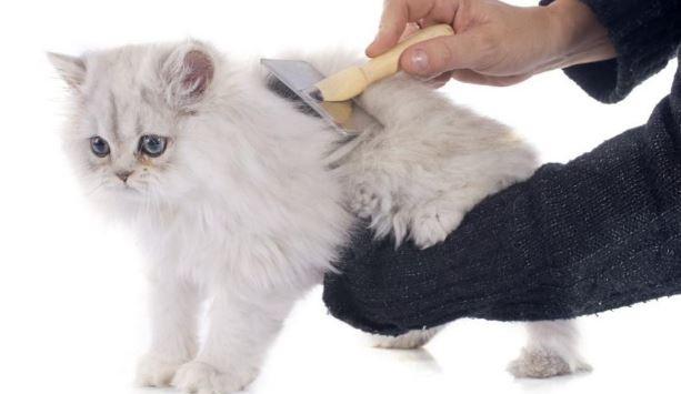Cara Merawat Bulu Kucing Yang Mudah Dilakukan