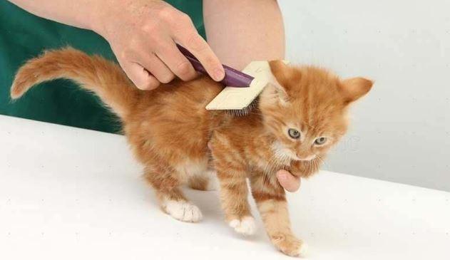Cara Mengatasi Bulu Kucing Rontok Dengan Mudah