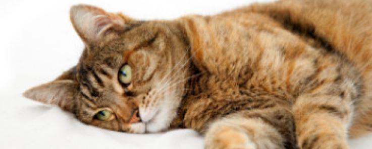 Cara Mengobati Kucing Mencret - Kucing.co.id