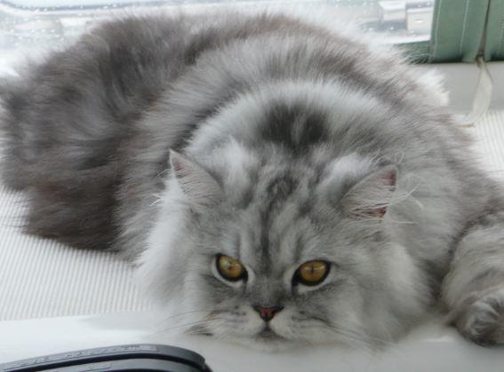 10 Gambar Kucing Anggora Lucu Terbaru