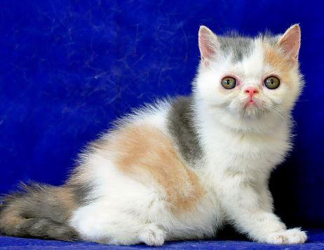 Jenis Jenis Kucing Anggora