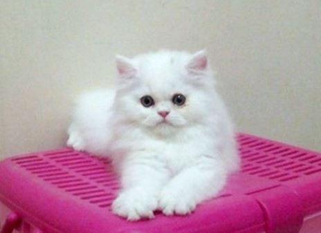 kucing-persia-tradisional Jenis Jenis Kucing Persia