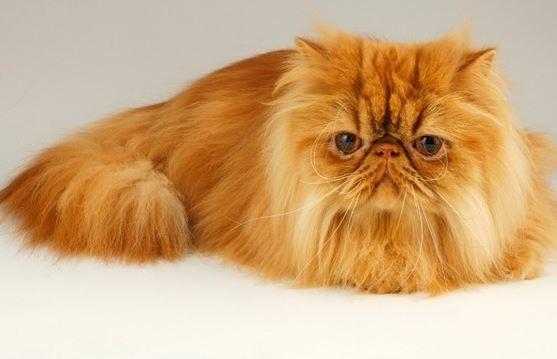 Mengetahui Jenis-Jenis Ras Kucing A-Z Lengkap
