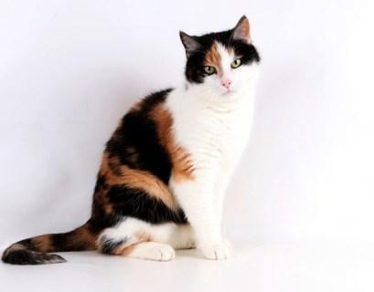 Tips Mengadopsi Kucing Calico Atau Kucing Kembang Telon