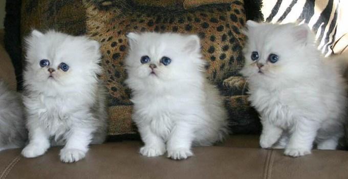 Cara Merawat Anak Kucing Persia Umur 1 2 3 Bulan