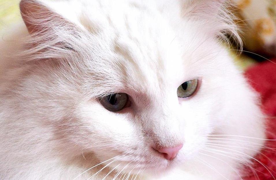 Gambar Bentuk Kepala Kucing Anggora Asli