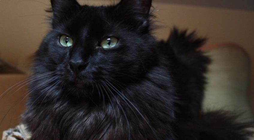 Kucing Anggora Asli Hitam yang Bulunya Lebat