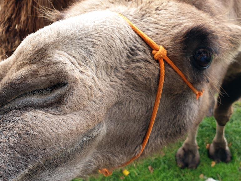 Tierpark Krüzen Kamele