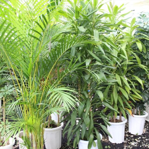 観葉植物(46)
