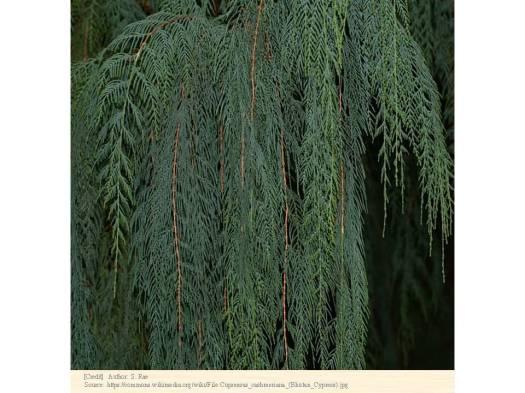 カシミール・イトスギ 種子
