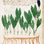 線をひけばすぐわかるヴォイニッチ手稿のイラスト