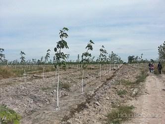 pokok getah tanah wakaf