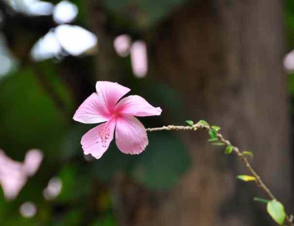 Pink Flower - Phnom Kulen
