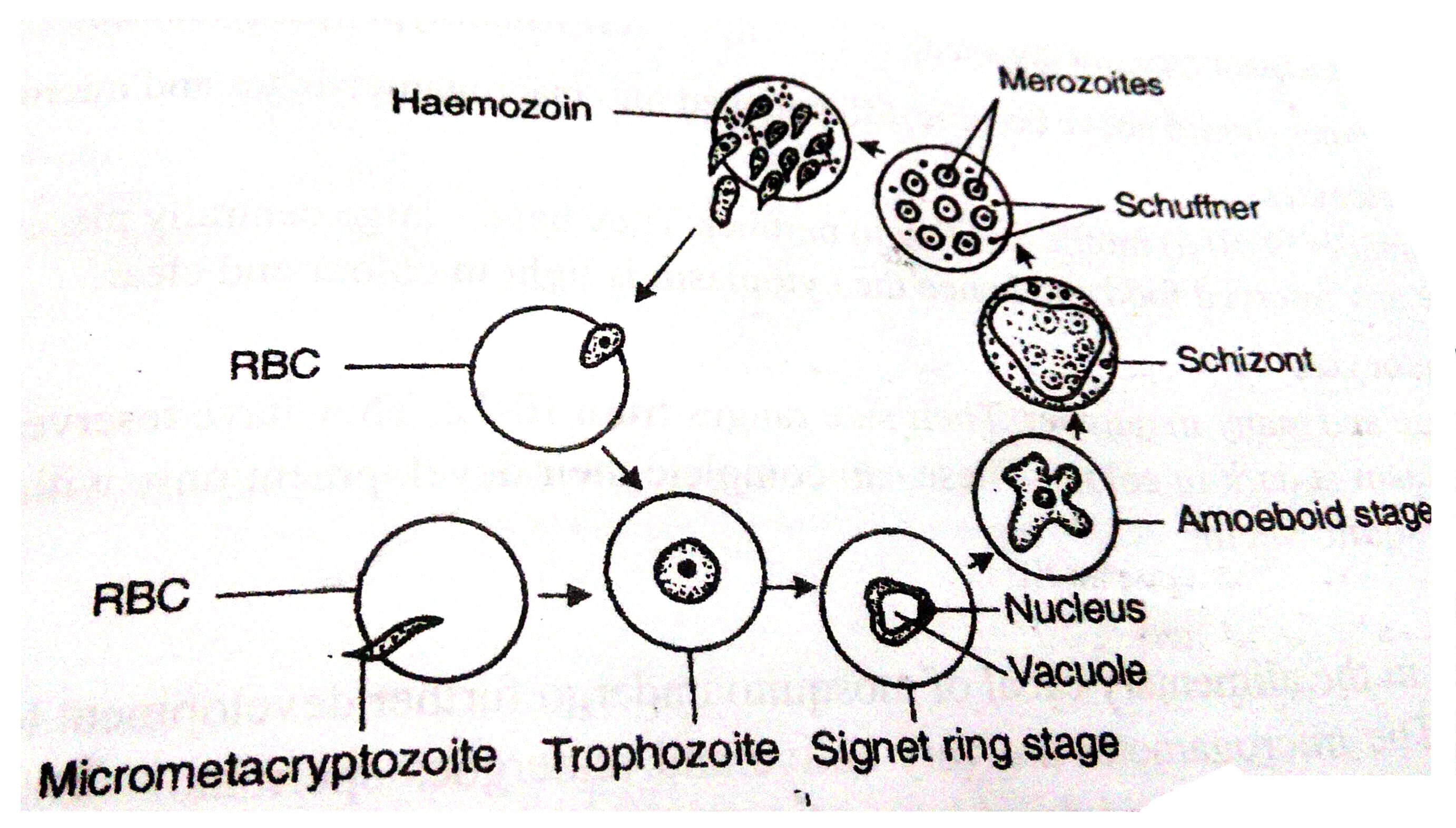 Lifecycle Of Plasmodium
