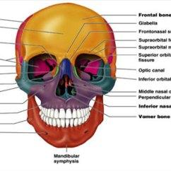 Axial Skeleton Skull Diagram Reflexology To Induce Labor Kullabs Com