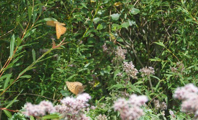 k-20_Schmetterlinge fliegen
