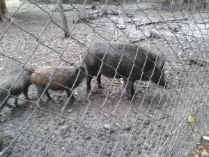 Wildschweine in der Hohenlindener Sauschütt