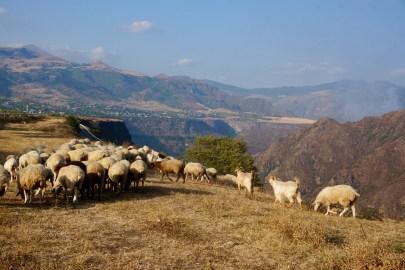 Schafe mit Ausblick