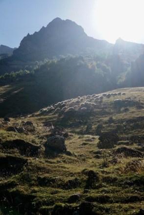 Schafe am Morgen
