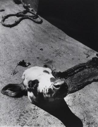 ATELIER D'ORA | Abgetrennter Kalbskopf in einem Pariser Schlachthaus | um 1954 © Museum für Kunst und Gewerbe Hamburg | Foto: Museum für Kunst und Gewerbe Hamburg