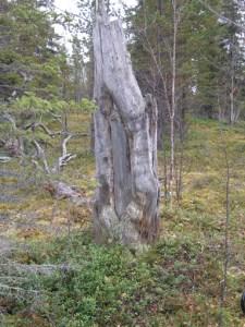 Barktäkt vid Mertainen. © Norrbottens museum