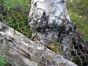 Ett kol-såll har vuxit fast i en björkstam.