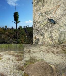 En tall formad som en flaskborste, en märklig insekt och myrornas spår på tallheden. Foto: Åsa Lindgren