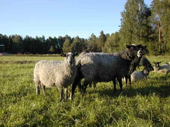 Norrbottens vanligaste gröda är vallgräs, som växer så det nästan knakar när det är ljust nästan dygnet runt.