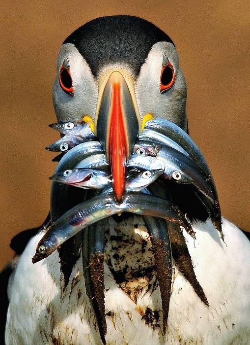 Забавная морская птица питается рыбой, причем предпочтение отдает исключительно балтийской песчанке.