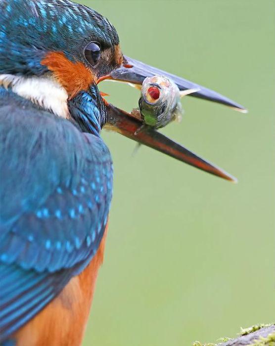 Маленькая птичка с ярким оперением является весьма умелым охотником на рыб и водных насекомых.