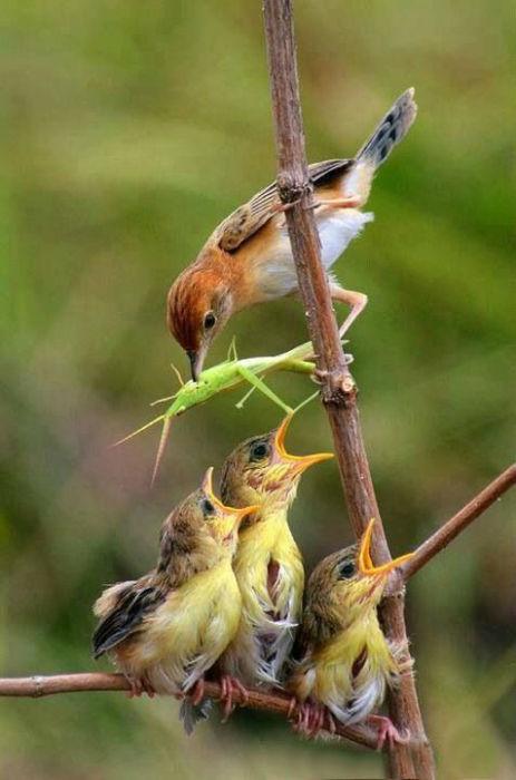 Неутомимая самка вернулась к птенцам с новой порцией свежепойманной добычи.
