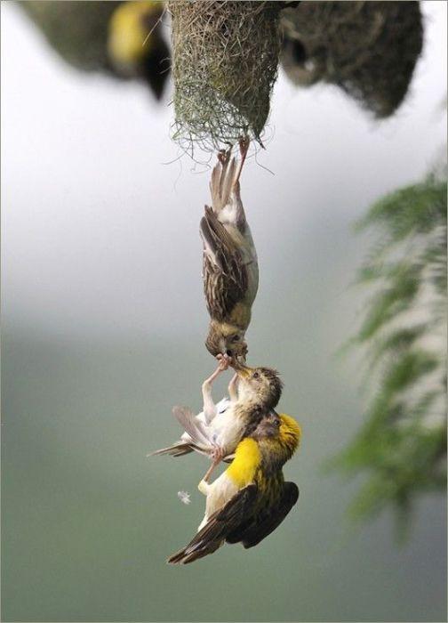 Родители отчаянно пытаются спасти выпавшего из гнезда птенца, который решил поохотиться самостоятельно.