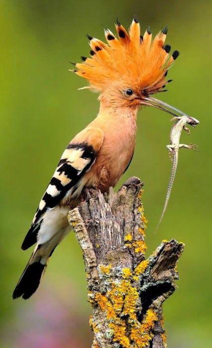 Основной рацион питания пестрой перелетной птицы составляют различные насекомые, но удод не откажется и от ящерицы.