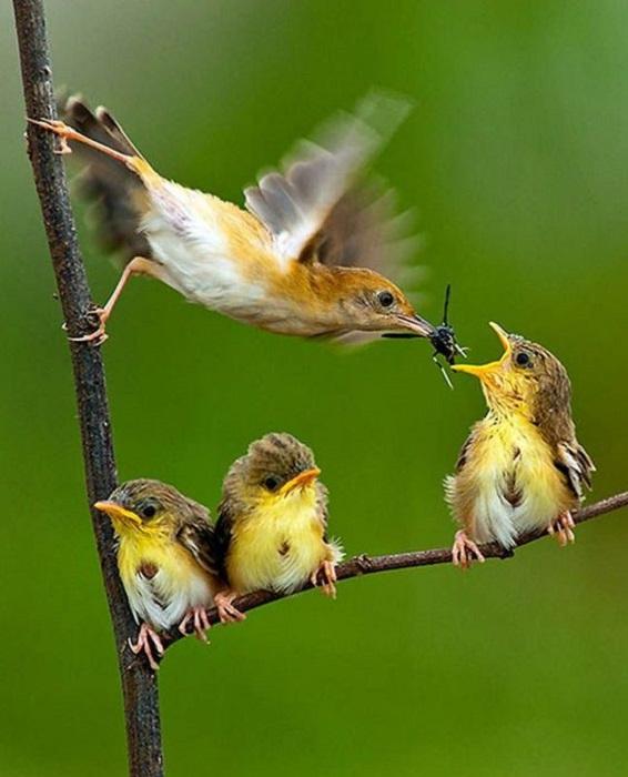 Самка певчей птицы кормит своих детишек в порядке очереди.