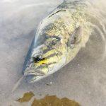 春のスモールマウスバスは一年で一番釣れる!釣り方とコツを徹底解説